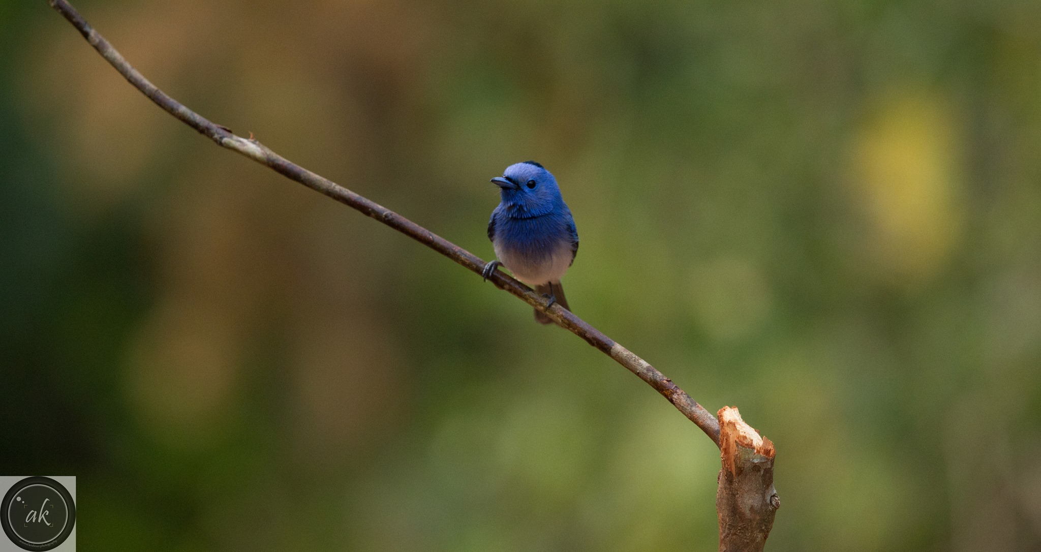 Black Naped Monarch at Ganeshgudi